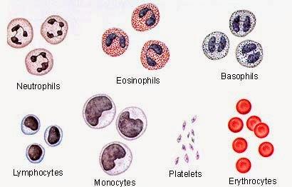 Jenis Leukosit serta fungsinya dalam tubuh