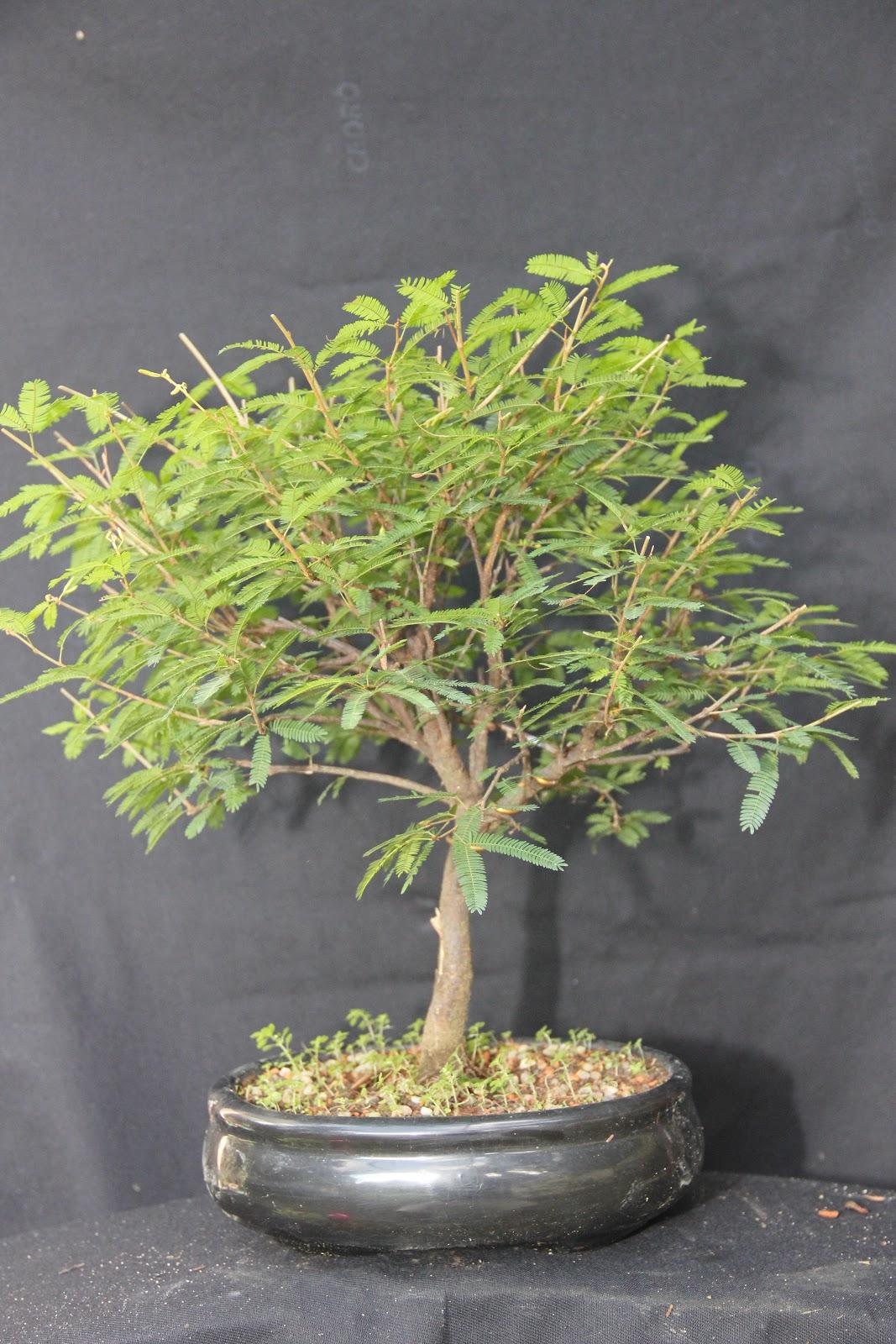 bonsai da serra