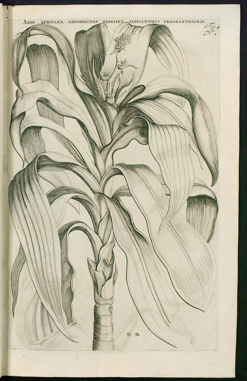 Aloe Africana - Plantas de interior