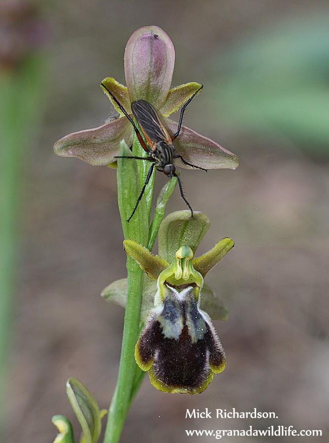 netta wild orchidea