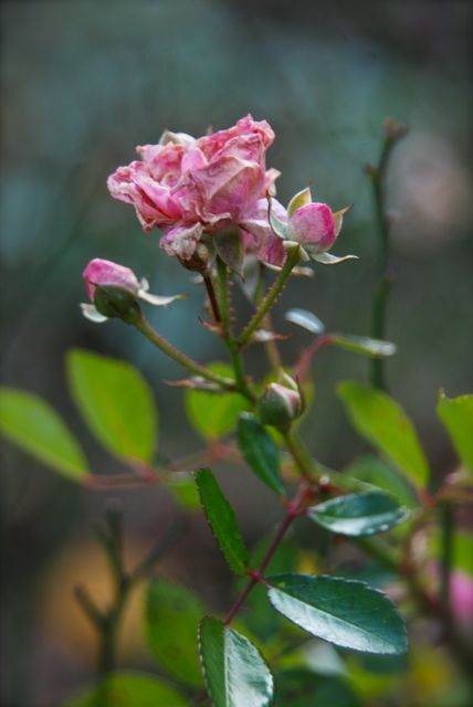 Rosa 'The Fairy' waiting for the snow.