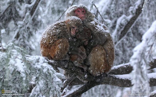 Продрогшие обезьянки жмутся друг к другу под снегопадом