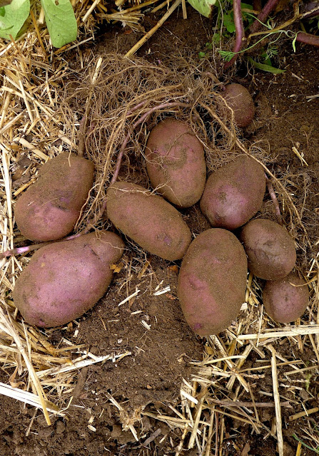 Blue Adirondack Potatoes