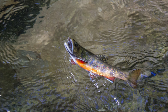 Smoky Mountain brook trout