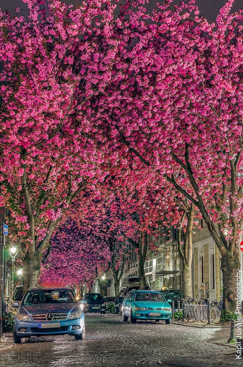 Cherry Blossom trees at Heerstraße street street in Bonn.