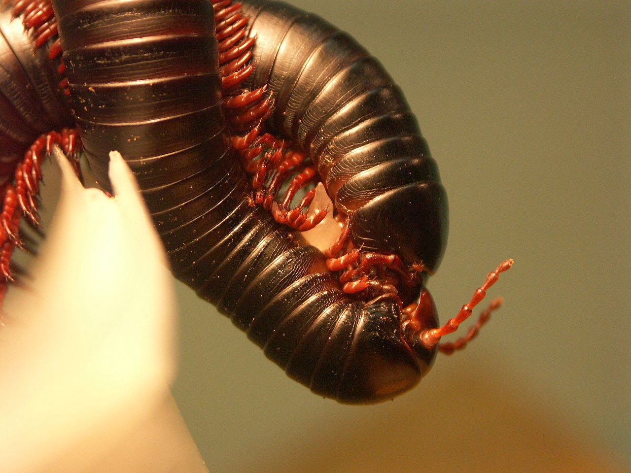 I Am A Millipede Mp3 Amazing Animals Pictur...