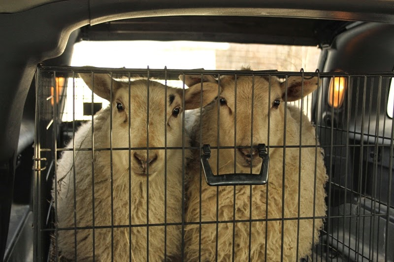 two sheep, one dog kennel