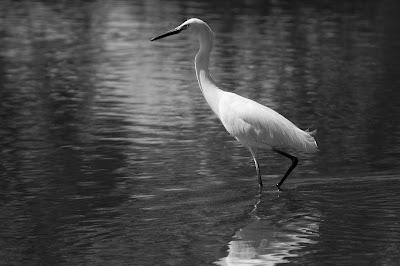 Snowy Egret, Kountze Lake