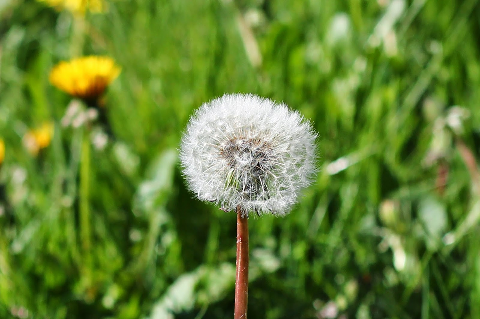 dandelion photograph british summer