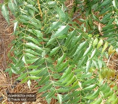tanaman langka ini mempunyai nama lain mimbo atau mimba tanaman langka