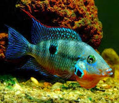 The firemouth as good freshwater aquarium fish parents for Good freshwater fish