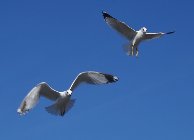 Ring-billed gulls foraging for food at Sunset Bay, White Rock Lake, Dallas, Texas