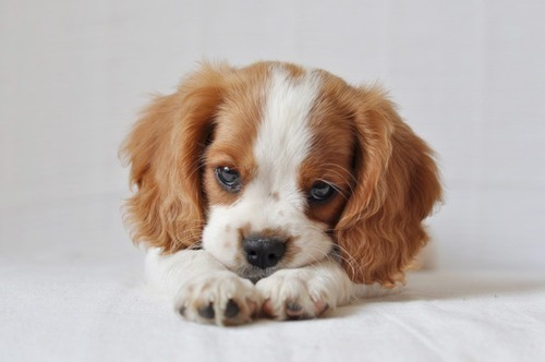 Image Result For Inch Beagle Puppies
