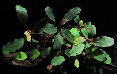 Картинки по запросу Bucephalandra sp. Blue, Sekadau