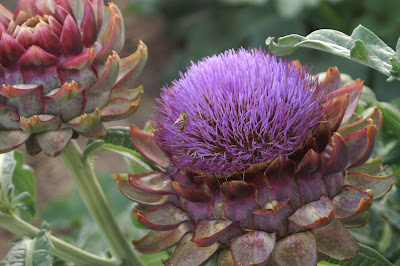 Flowering Artichoke Plant