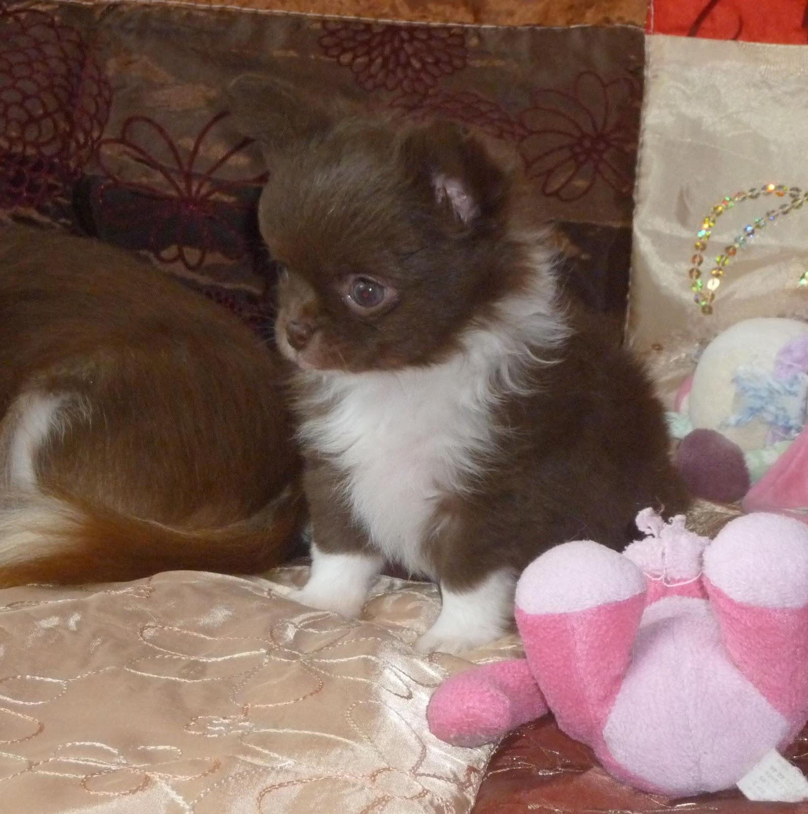 Le chihuahua sa sant et son bien tre l 39 arriv e du for Arrivee de bebe a la maison
