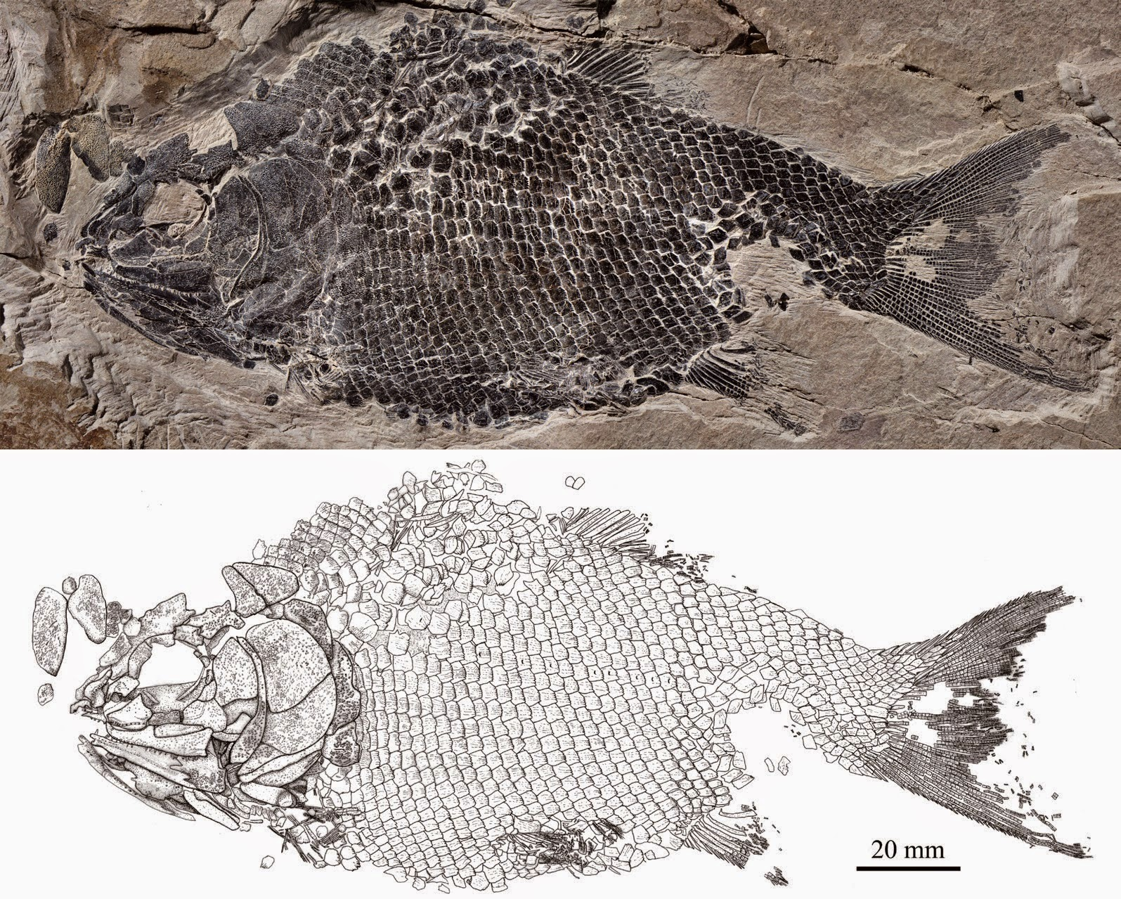 http://sciencythoughts.blogspot.co.uk/2015/04/ionoscopiform-fish-from-middle-triassic.html