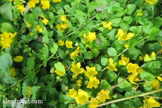 вербейник, монетчатый, Lysimachia nummularia, аленин сад, цветы, июль