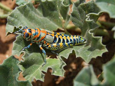 Saltamontes arco iris pintado Rainbow Grasshopper Dactylotum bicolor