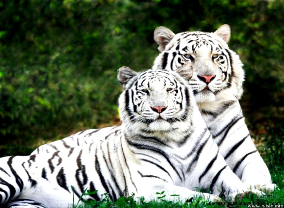 Really Cute Baby White Tigers  Amazing Wallpapers