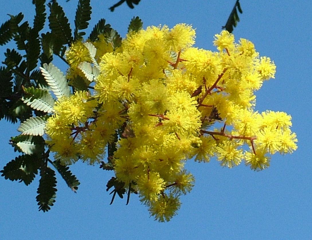Francescopaolo D'Adamo: Mimosa