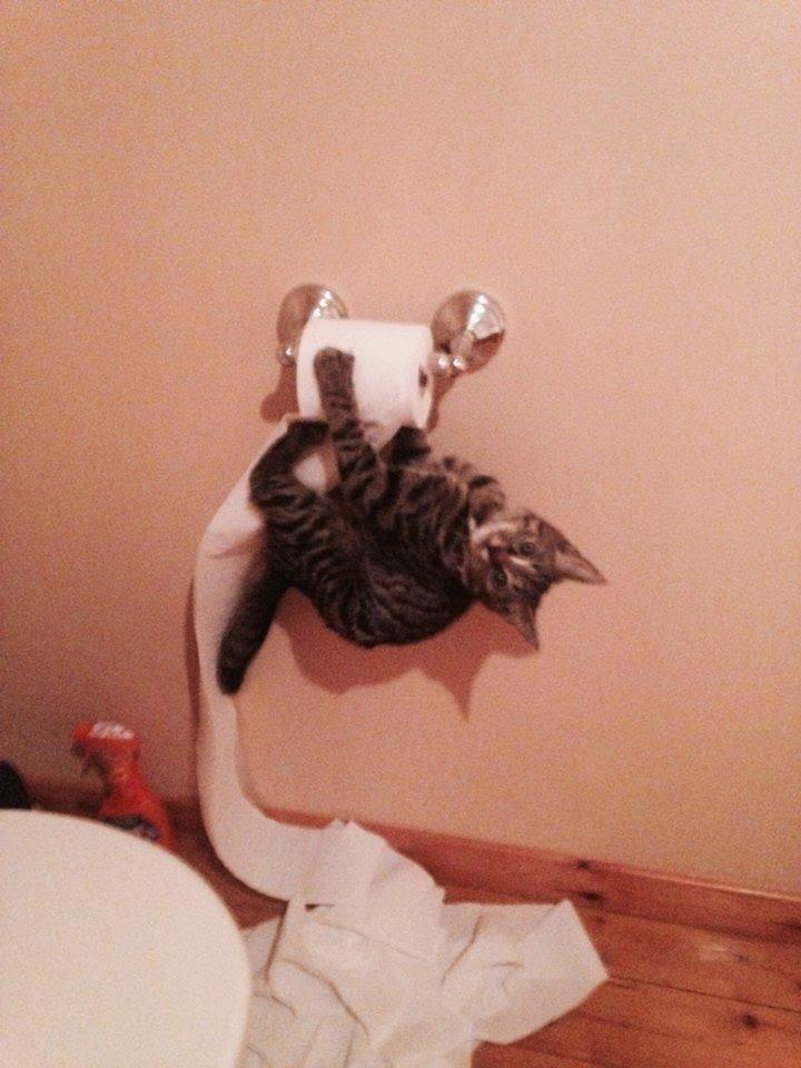 Кот на туалетной бумаге