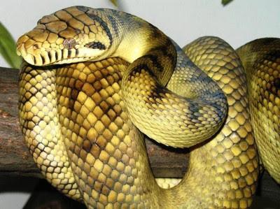 ... . Ular ini biasanya ditemukan hidup di Indonesia dan Papua Nugini