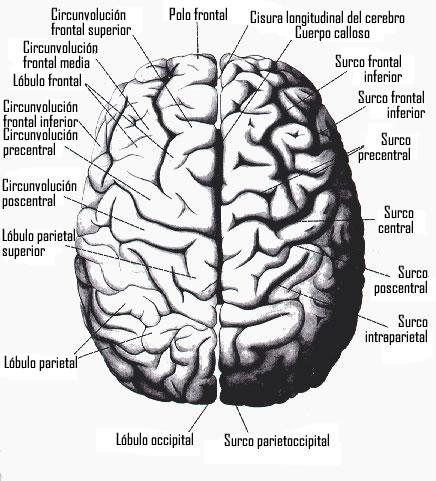 funciones del cerebro humano. las funciones del cerebro