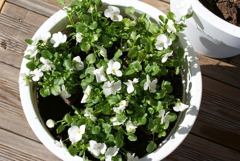 valkoiset kukat, kesäkukat, puutarha