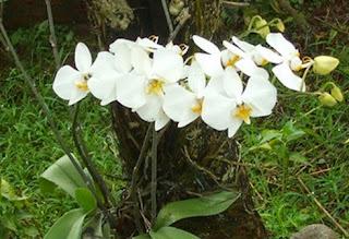 Anggrek Bulan Bunga Nasional Indonesia