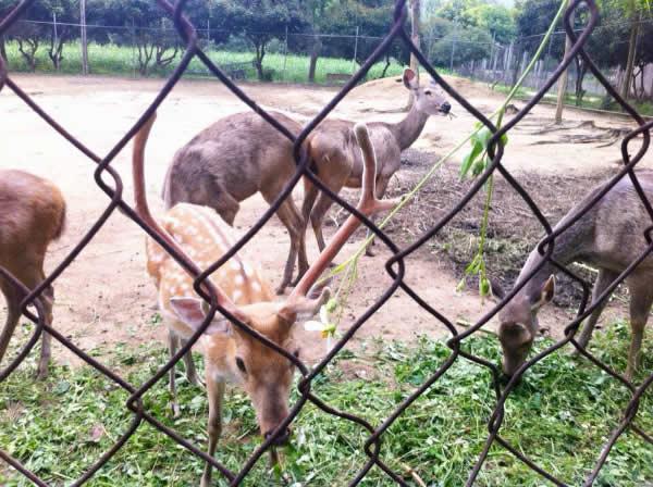 hươu vài nai tại khu du lịch sinh thái trại bò