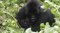 mountain gorilla twins