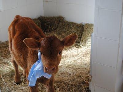 vaquita argentina que da leche humana