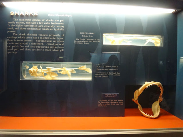 Shark's mouth bone at National History Museum in Washington DC, USA