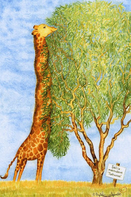 Giraffe eating 'Wiggy Willosw - Ingrid Sylvestre