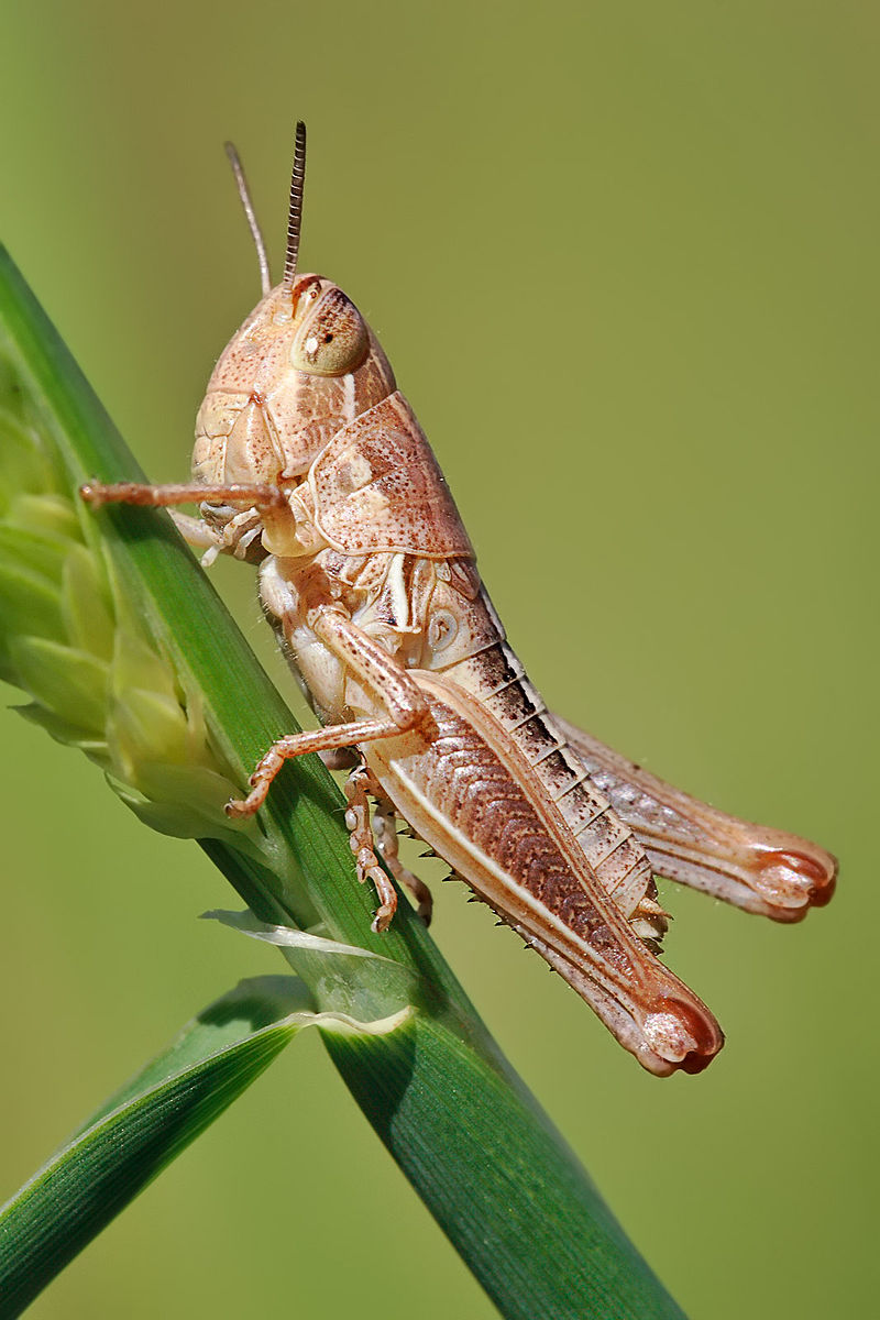 Grasshopper Facts | KnowLedge