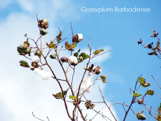 Egyptian cotton is extracted from a plant known as Gossypium barbadense