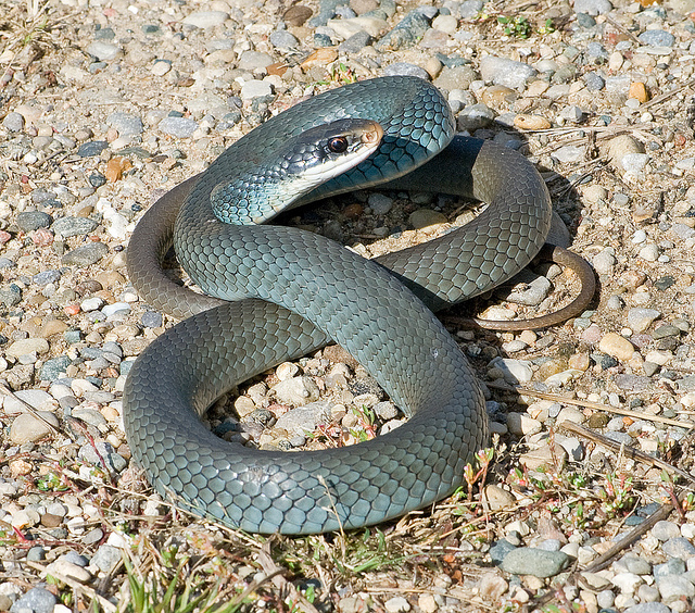 Snakes: Blue Racer Snakes