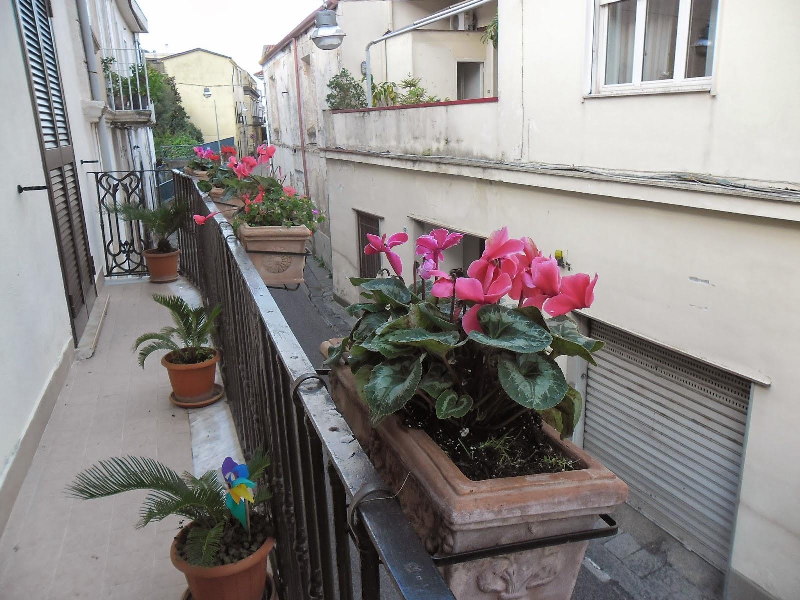 Ortensie Sul Balcone : Mamma sciaury giardinaggio ciclamini nuovi sul balcone