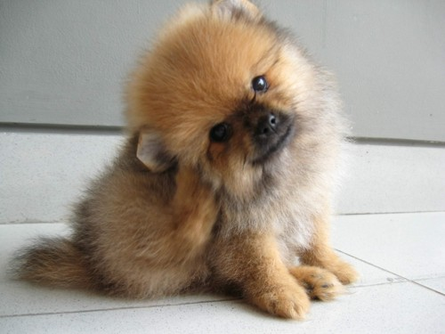 Pomeranian Dog Pictures, Names, Price