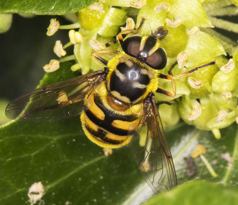 Hoverfly, Myathropa florea.  Gates Green Road, Coney Hall.  31 August 2014.