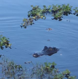 alligator and wildlife at savannas campground in fort pierce florida by dear miss mermaid copyright http://dearmissmermaid.com