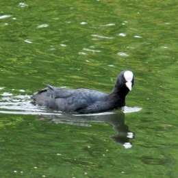male coot
