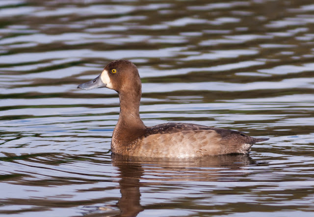 Scaup - Colwyn Bay, Wales