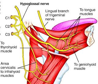 nervios craneales - lengua