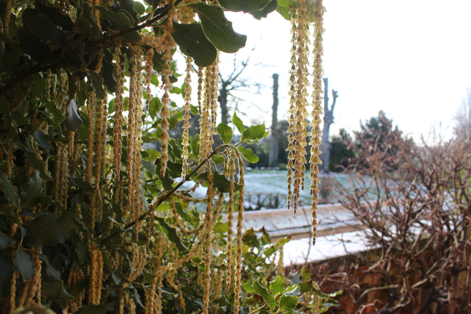 Garrya elliptica at Hodsock Priory