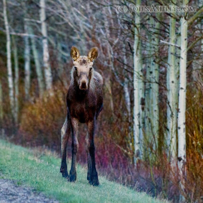 Yearling moose (c) John Ashley