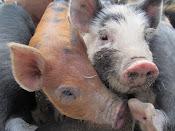 2012 Piglets