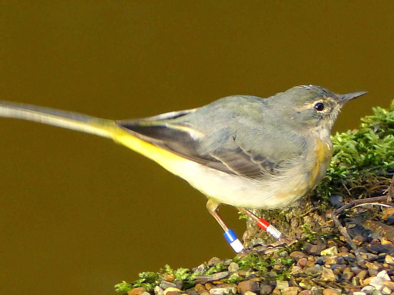 Grey Wagtail  Worsley, Greater Manchester March 2015 (Ann Ord Sykes)