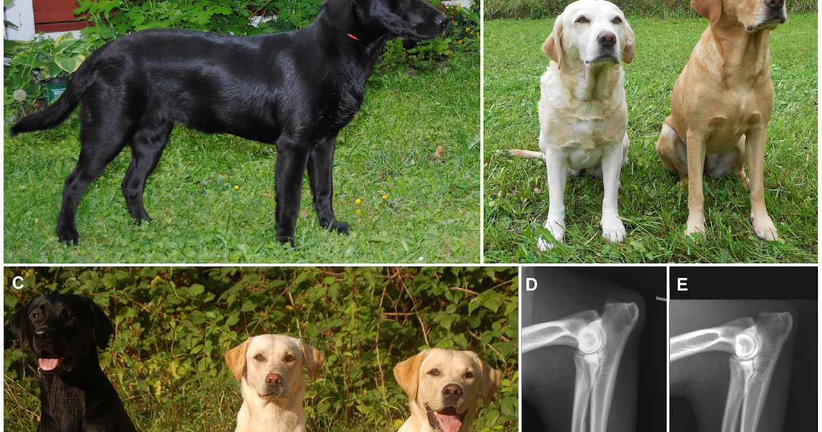musings of a biologist and dog lover  dwarfism in labradors  a look at genetic disease and